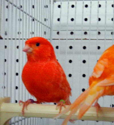 Burung+kenari - red factor canary